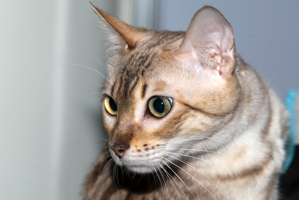 2 millions de chats sauvages doivent être éradiqués en Australie./ Photo DR
