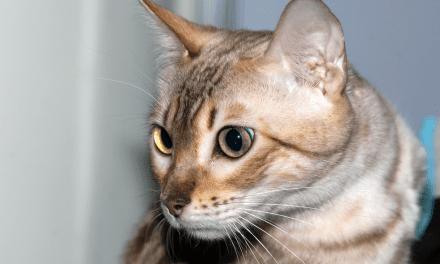 Australie : 2 millions de chats vont être tués