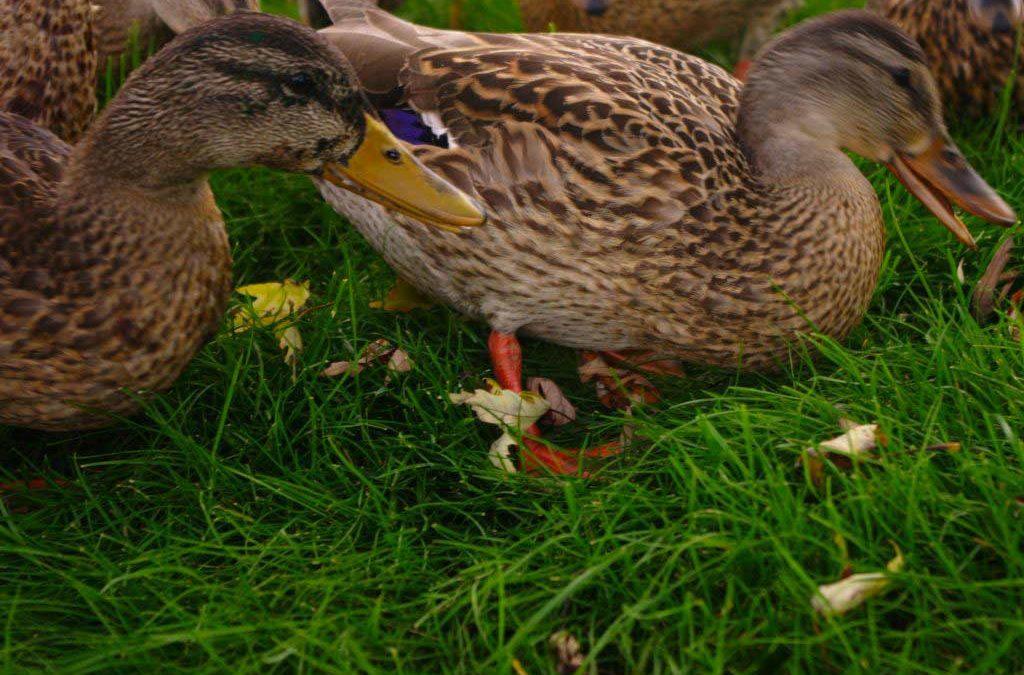 Les canards sont les premiers touchés par la grippe aviaire.