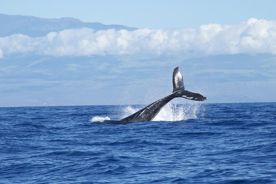 240 baleines se sont échouées en Nouvelle-Zélande.