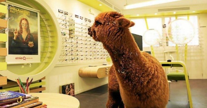 Un lama fait irruption chez un opticien / Crédits : Pierre-Yves Nicolas - Photographe