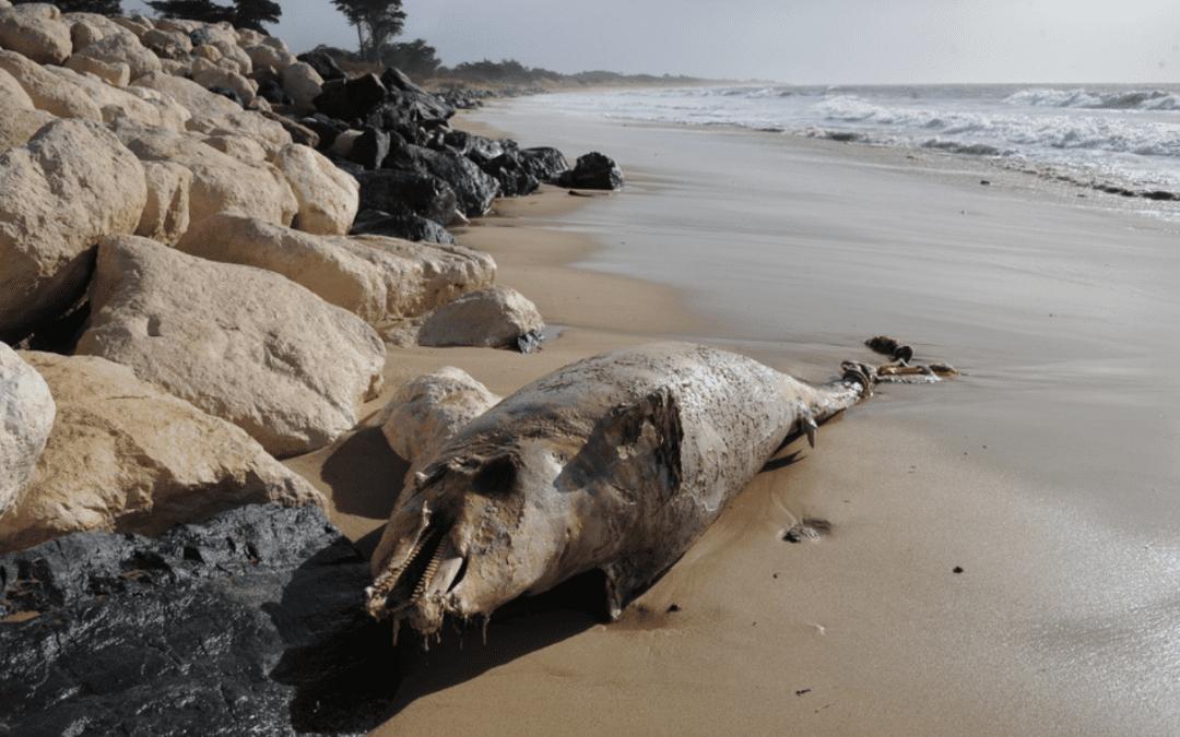 Illustration d'un dauphin échoué en Charente-Maritime / Crédits photo : Xavier Leoty