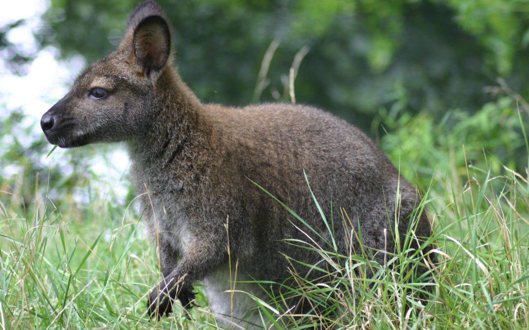 Les kangourous et les koalas ne sont pas les seules espèces victimes des incendies australiens.