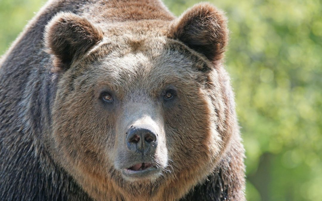 brown-bear-858720_1920