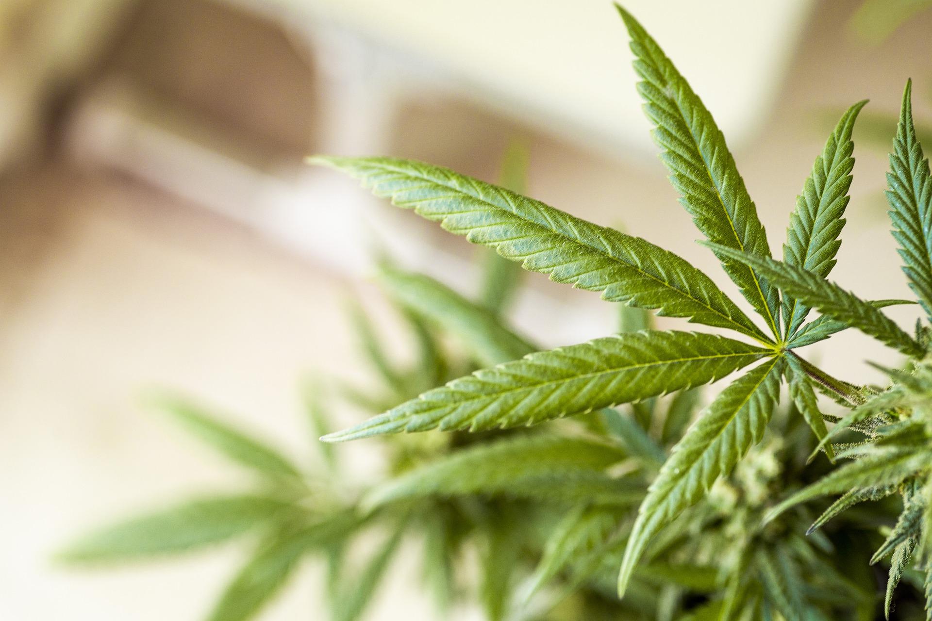 La réglementation de l'usage du cannabis pourrait être revue par le gouvernement