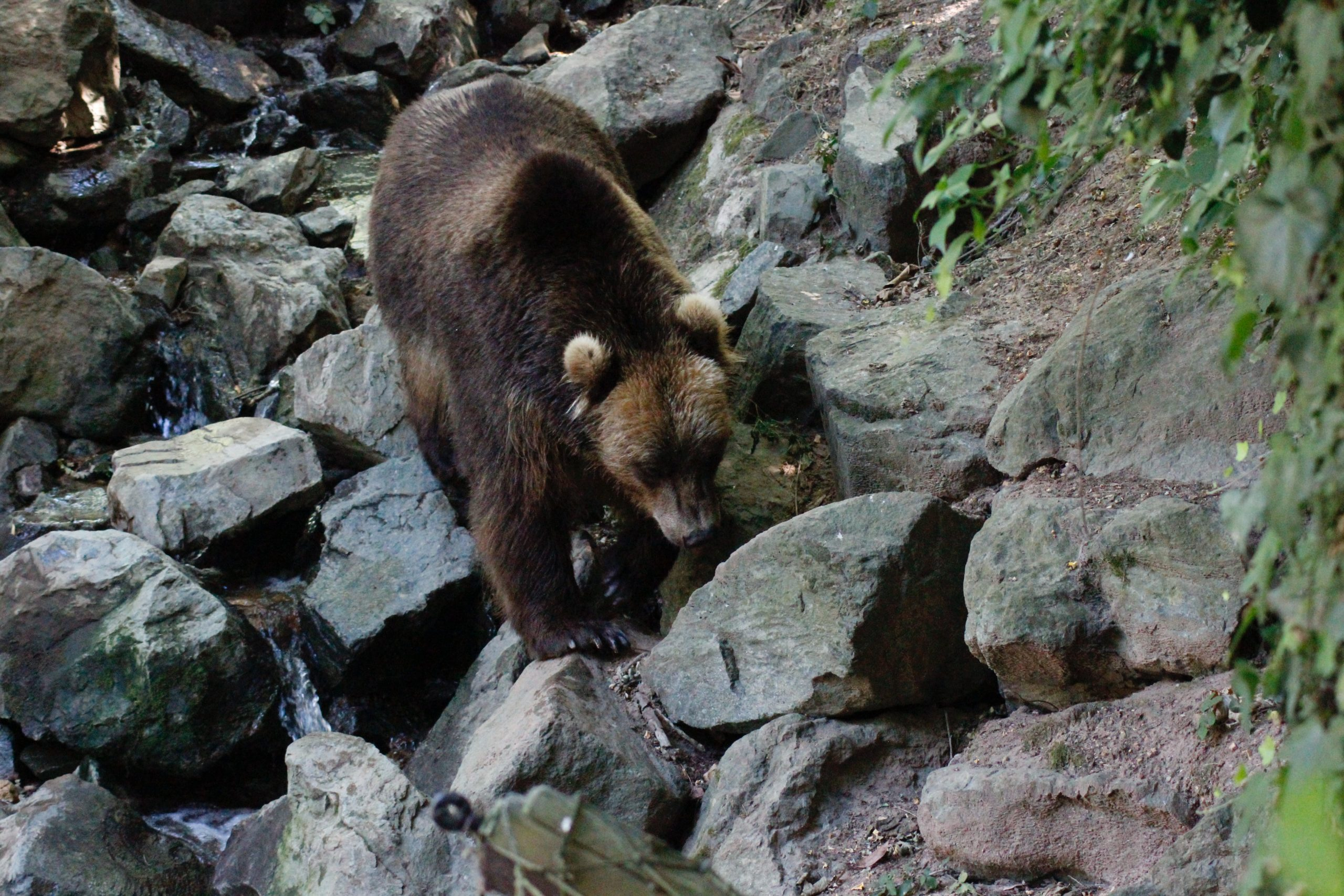 Depuis 2019, les balles en caoutchouc étaient autorisées pour éloigner les ours des troupeaux. Crédit : Axel Blanchard.